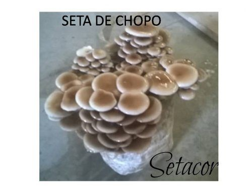 SETA DE CHOPO