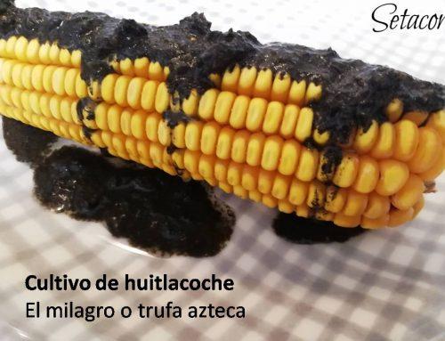 Huitlacoche, un cultivo diferente y muy rentable