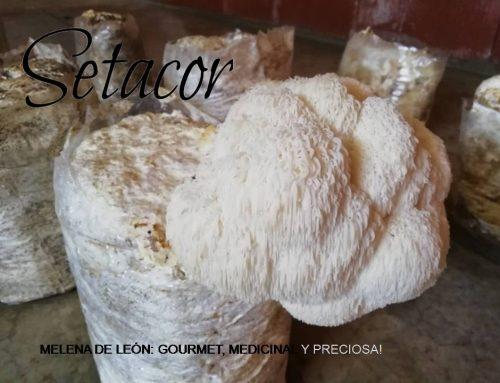 Melena de León: gourmet, medicinal y preciosa!